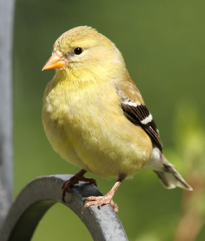 Mrs. American Goldfinch Warfield, British Columbia Canada