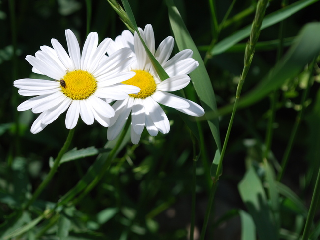 Enjoying the Daisies Brandon, Manitoba Canada