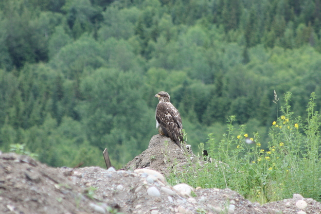 Young eagle at the dump Terrace, British Columbia Canada