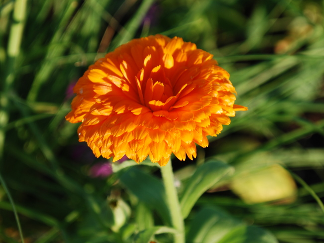 Orange Flower Brandon, Manitoba Canada