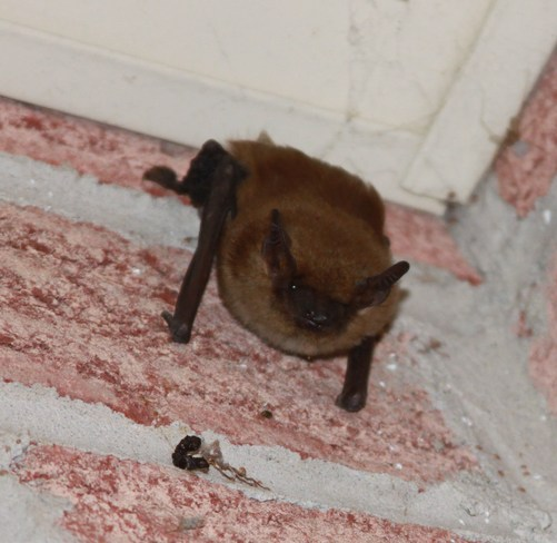 Bat on porch Kingston, Ontario Canada