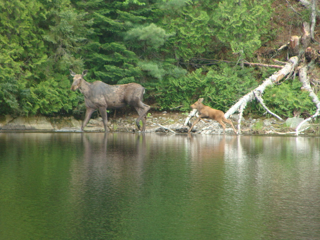 Moose and calf Sault Ste. Marie, Ontario Canada