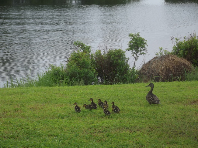 Mother with her 9 babies North Sydney, Nova Scotia Canada