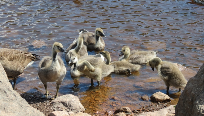 Growing Goslings Moncton, New Brunswick Canada