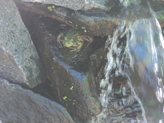 frog under our waterfall Innisfil, Ontario Canada