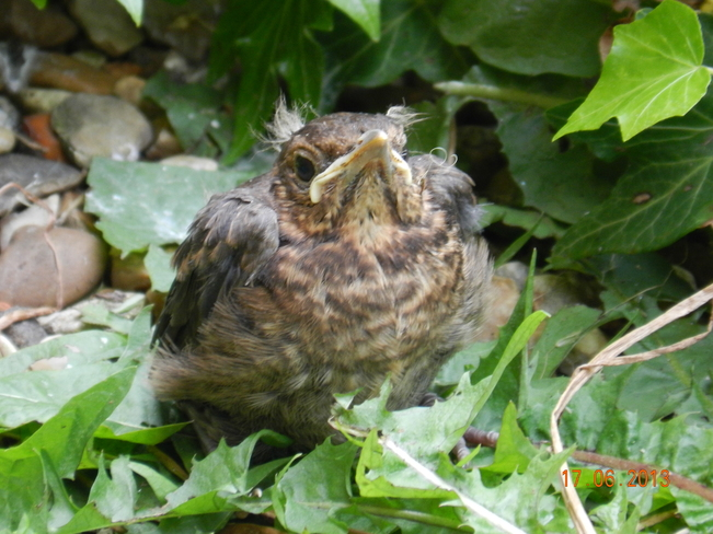 Baby European Blackbird Leighton Buzzard, England United Kingdom