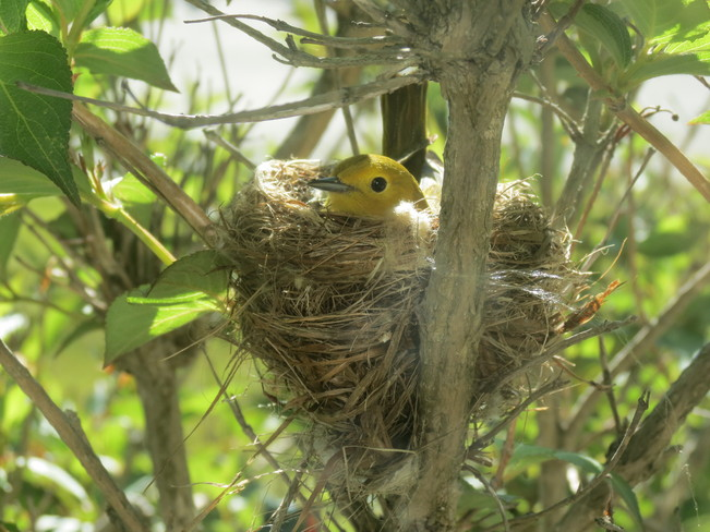 Yellow Warbler Nesting St. John's, Newfoundland and Labrador Canada