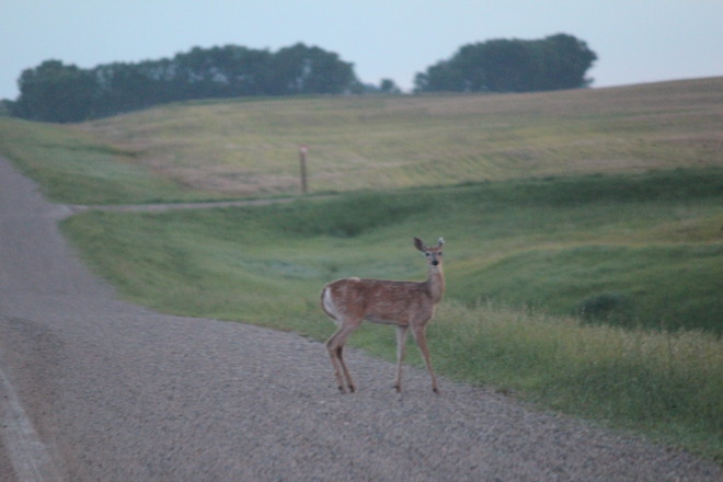 You Mean I Shouldnt Be Crossing The Road??? Francis, Saskatchewan Canada