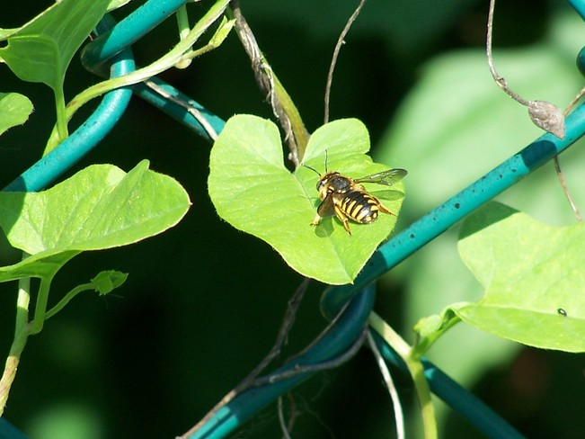 Honey Bee on a Leaf.
