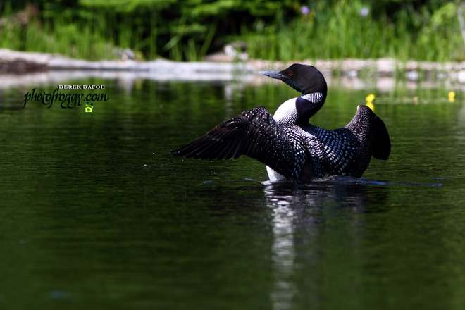 Common Loon Marmora, Ontario Canada