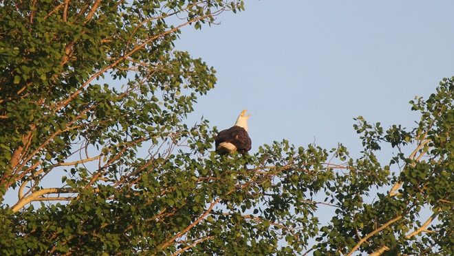 Bald Eagle calling Cat Lake, Ontario Canada