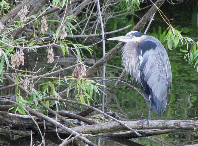 Heron Salmon Arm, British Columbia Canada