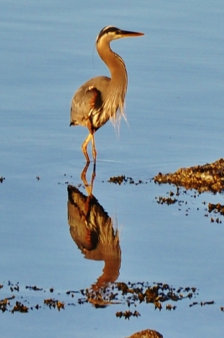 HERON REFLECTIONS Sidney, British Columbia Canada