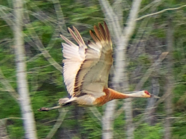Sandhill Crane in flight Falcon Lake, Manitoba Canada