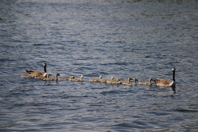 All Geese in a Row Portage La Prairie, Manitoba Canada