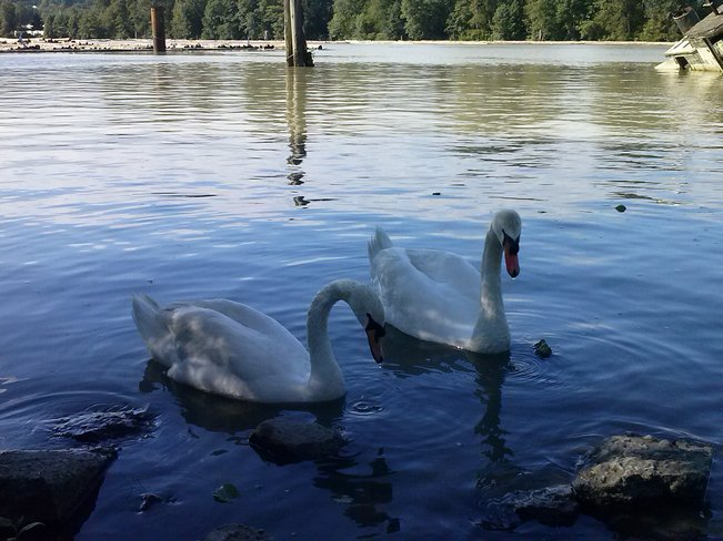 Hey I heard you were the wild swans Richmond, British Columbia Canada