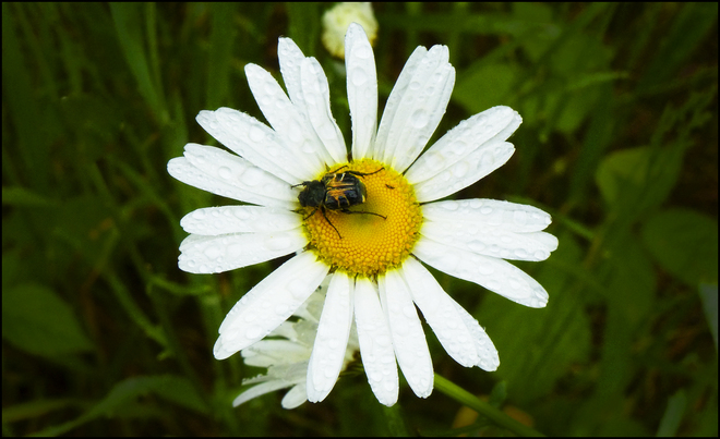 Esten Rd., after the rain, a daisy with a bug. Elliot Lake, Ontario Canada