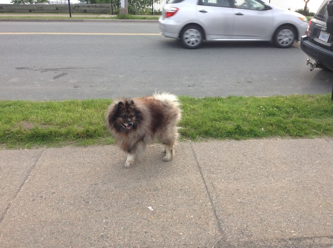 Big Pomeranian Dog Sydney, Nova Scotia Canada