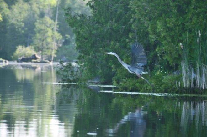 Blue Heron in flight Erin, Ontario Canada