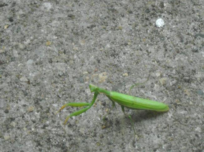 Praying Mantis London, Ontario Canada