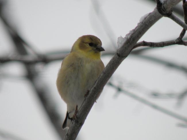 goldfinch in winter coat Kamloops, British Columbia Canada