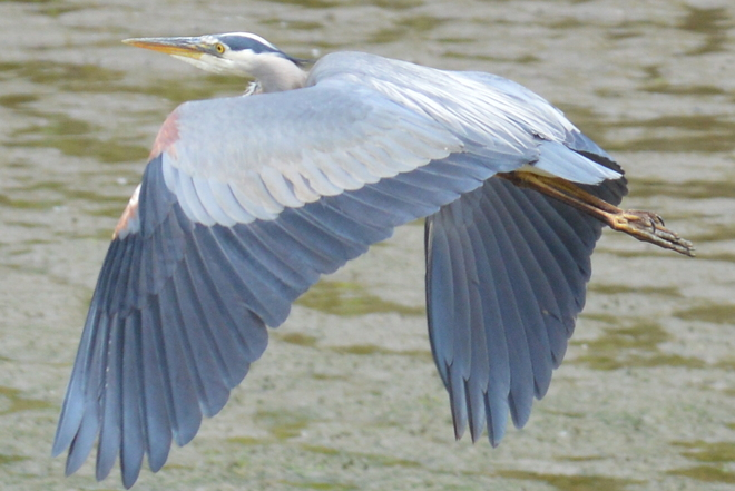 Heron In Flight Greater Vancouver, British Columbia Canada