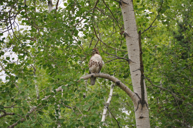 Hawk looking for prey Rapide-Danseur, Quebec Canada