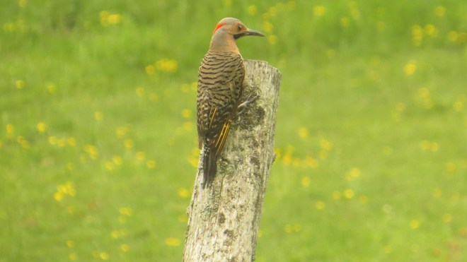 Northern Flicker Rutherglen, Ontario Canada