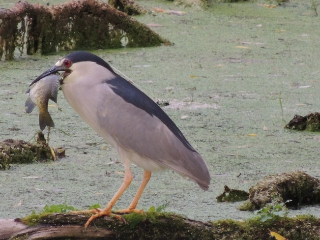 Black crowned night heron Bond Head (not available), Ontario Canada