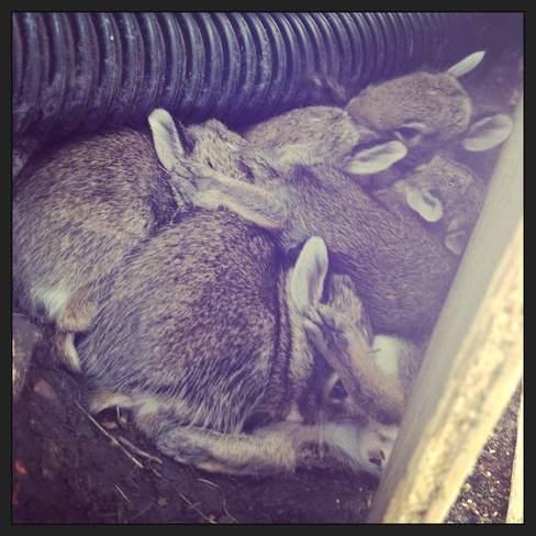 lots of bunnies! Winnipeg, Manitoba Canada