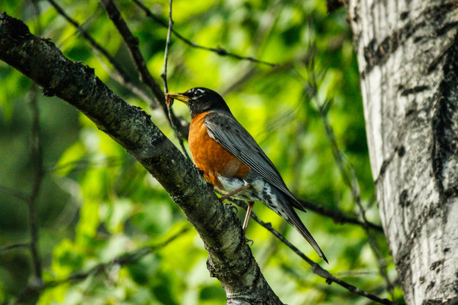 Robin Red Breast Hudson's Hope, British Columbia Canada
