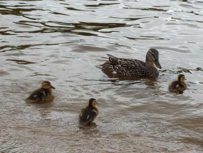Mother Duck & Ducklings Espanola, Ontario Canada