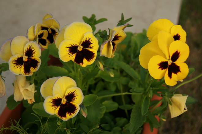 Pansy sunset Cardston, Alberta Canada