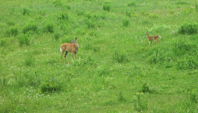 Young deer with mother Arundel, Quebec Canada