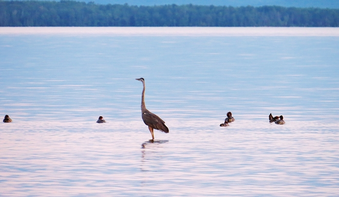 New Heron in the 'neighborhood'. North Bay, Ontario Canada