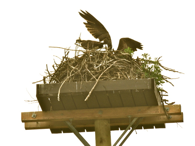 Hwy. 57 Osprey Nest is UP again. Caesarea, Ontario Canada