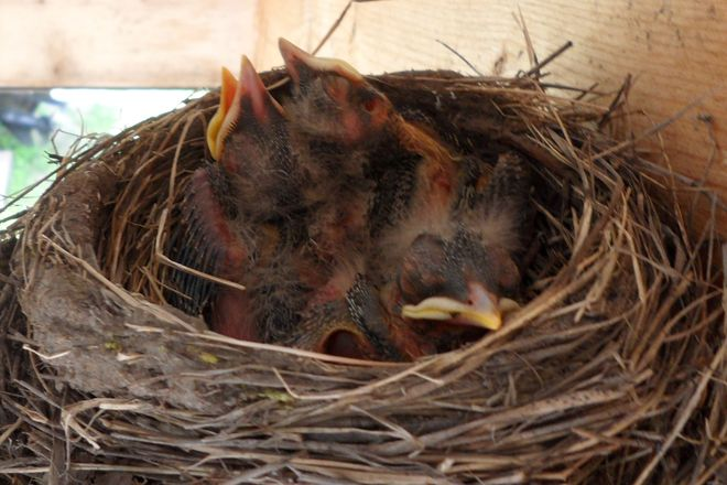 Day 8: baby robins
