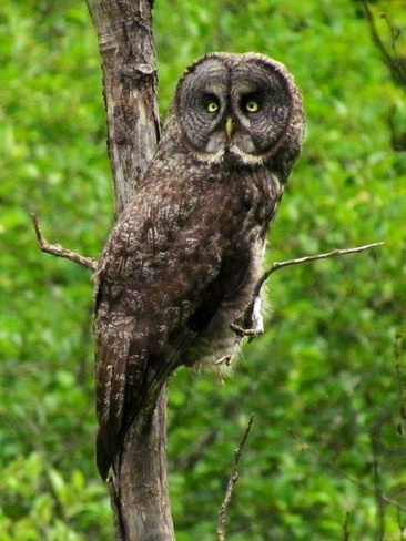 Great Grey Owl Orleans, Ontario Canada