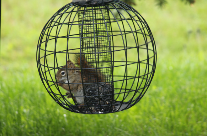Squirrel Proof Feeder????? Pasadena, Newfoundland and Labrador Canada