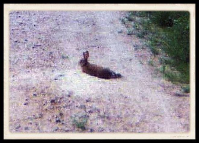 Reba the Rabbit Parks in the DriveWay Port Loring, Ontario Canada