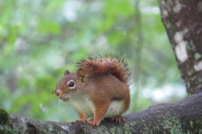 Red Squirrel (female) & Mosquito Chester, Nova Scotia Canada