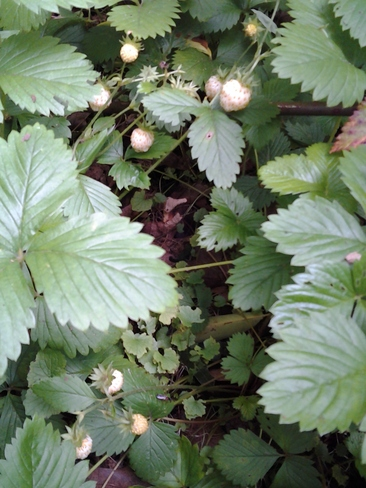 Wild strawberries London, Ontario Canada