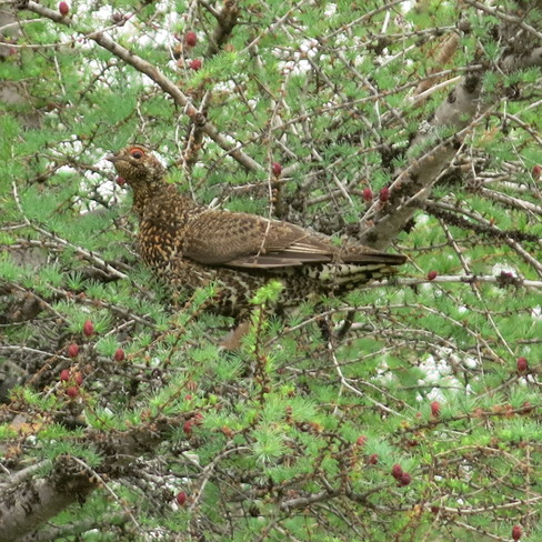 Grouse in tree Buchans, Newfoundland and Labrador Canada