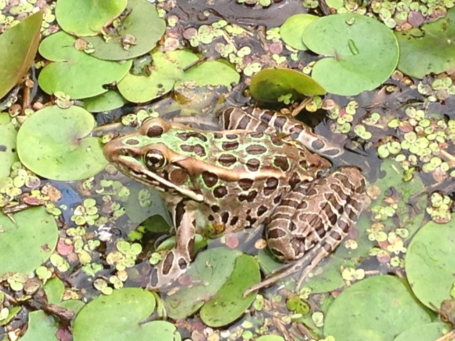 "A picture of a frog ""Patio"" Orleans, Ontario Canada"