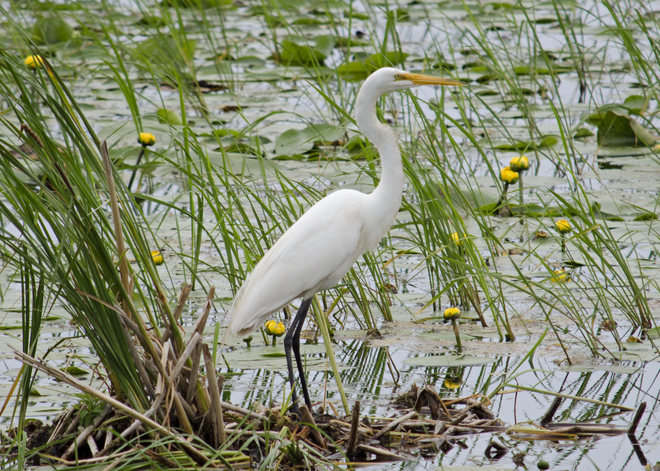 Great White Egret Brighton, Ontario Canada