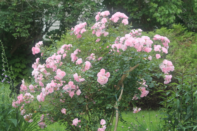 Pink Roses in full Bloom in July Wolfville, Nova Scotia Canada