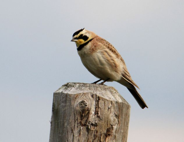 horned lark Brooks, Alberta Canada