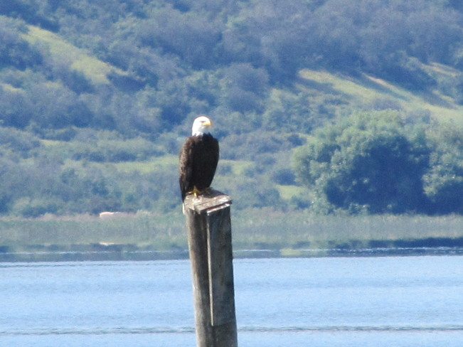 The great bald eagle Vernon, British Columbia Canada