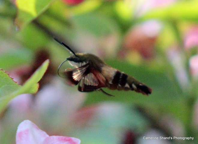 Hummingbird Moth Eastern Passage, Nova Scotia Canada