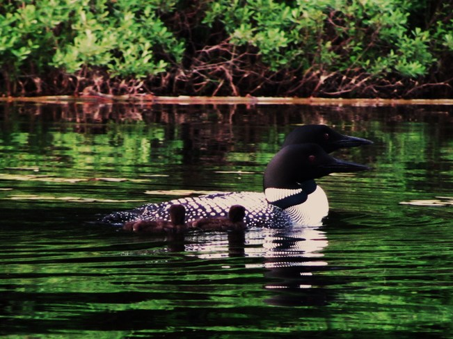 Family of Loons Elliot Lake, Ontario Canada